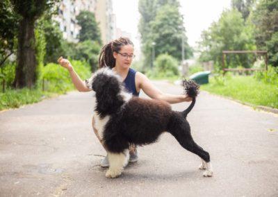 portugalski pies dowodny strzyżenie warszawa 2